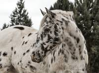 Appaloosa Horse - Joe the Horse