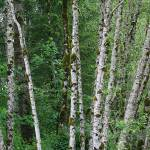 """White Bark Alder"" by OutsideShooter"