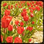 """Red Tulips"" by BoboJunket"