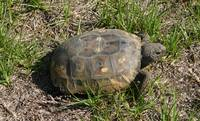 Gordan the Gopher Tortoise