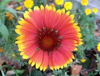 Gaillardia Bloom