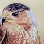 """Coopers Hawk"" by aart2000"