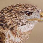 """Ferruginous Hawk"" by aart2000"