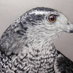 """Northern Goshawk"" by aart2000"