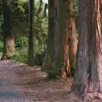 """""""redwoods cutout"""" by morninglori"""