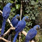 """Group of Hyacinth Macaws"" by parrots"