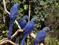 Group of Hyacinth Macaws
