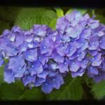 """""""Hydrangea Blue"""" by BoboJunket"""