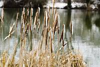 JimHellier_ Reeds on the Thames1