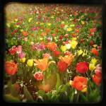 """Tulip Field"" by BoboJunket"