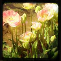 Sunny Pink Tulips