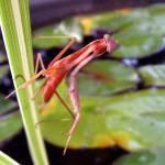 """""""Praying Mantis"""" by DavidRogers"""