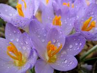 Purple Crocus with Dew