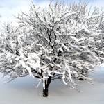 """Cherry Tree in Snow"" by DavidRogers"