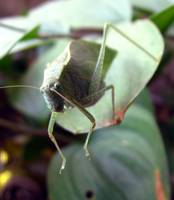 Katydid on the Edge