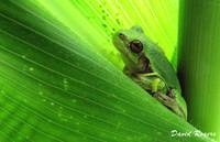 Incognito - Tree Frog