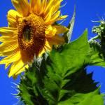 """Sunflower"" by DavidRogers"