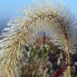 """Frosted Grass Seedhead"" by DavidRogers"