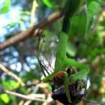 """""""Praying Mantis Eating"""" by DavidRogers"""