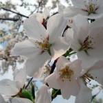 """Cherry Tree Blossoms"" by DavidRogers"