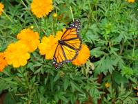 Monarch Butterfly 073