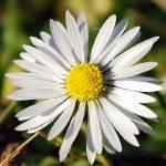 """Daisy"" by steevelane"