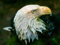 Bald Eagle Art