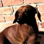 """Dachshund on Brick Background"" by krysshaw"