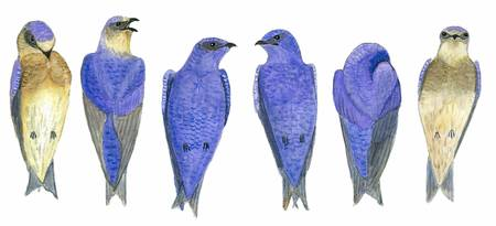 Purple Martin Line Dance