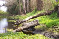 River Bank with Fallen Trees