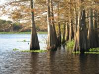 Cypress Trees on the St. Johns River