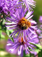 Pollenating Asters