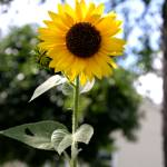"""""""Sunflower"""" by masteringyou"""