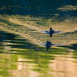 """Ducks at Silver Lake CA."" by KeithSkeltonPhoto"