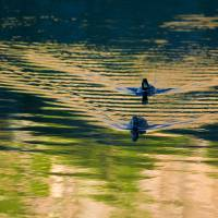 Ducks at Silver Lake CA. Art Prints & Posters by Keith Skelton