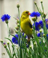 Golden-Finch-Female