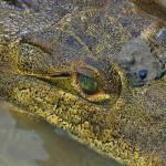 """Crocodile in Costa Rica"" by eyalna"