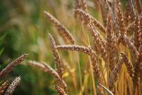 Wheat field at Strides to Success