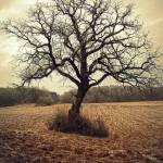 """""""Solitary Oak"""" by jackimroczkowski"""