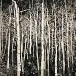 """""""Birches"""" by thomasdeininger"""