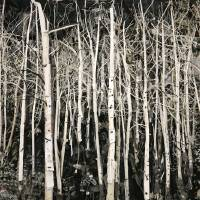 Birches Art Prints & Posters by Thomas Deininger
