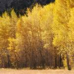 """Aspen trees, near St. Elmo Colorado"" by alcaporaso"