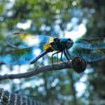 """Dragonfly Blues"" by use2blost"