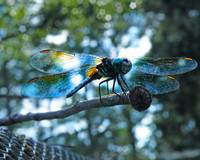 Dragonfly Blues