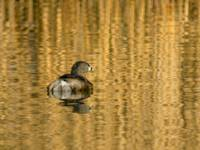 Pied-billed Grebe on Prospect Lake