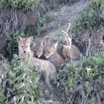 """Coyote Pups - 5283"" by BartElder"