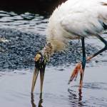 """Woodstork Hunts for Food"" by kphotos"