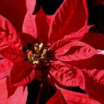 """Poinsettia"" by Janetreynolds"
