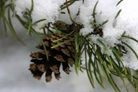 Snow Covered Pine Cone