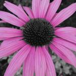"""Pink Echinacea (Cut Out)"" by MidiMacroMan"